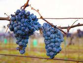 Fotografie Detailní pohled na fialové střapec hroznů ve vinici na podzim v ranních mrazíků