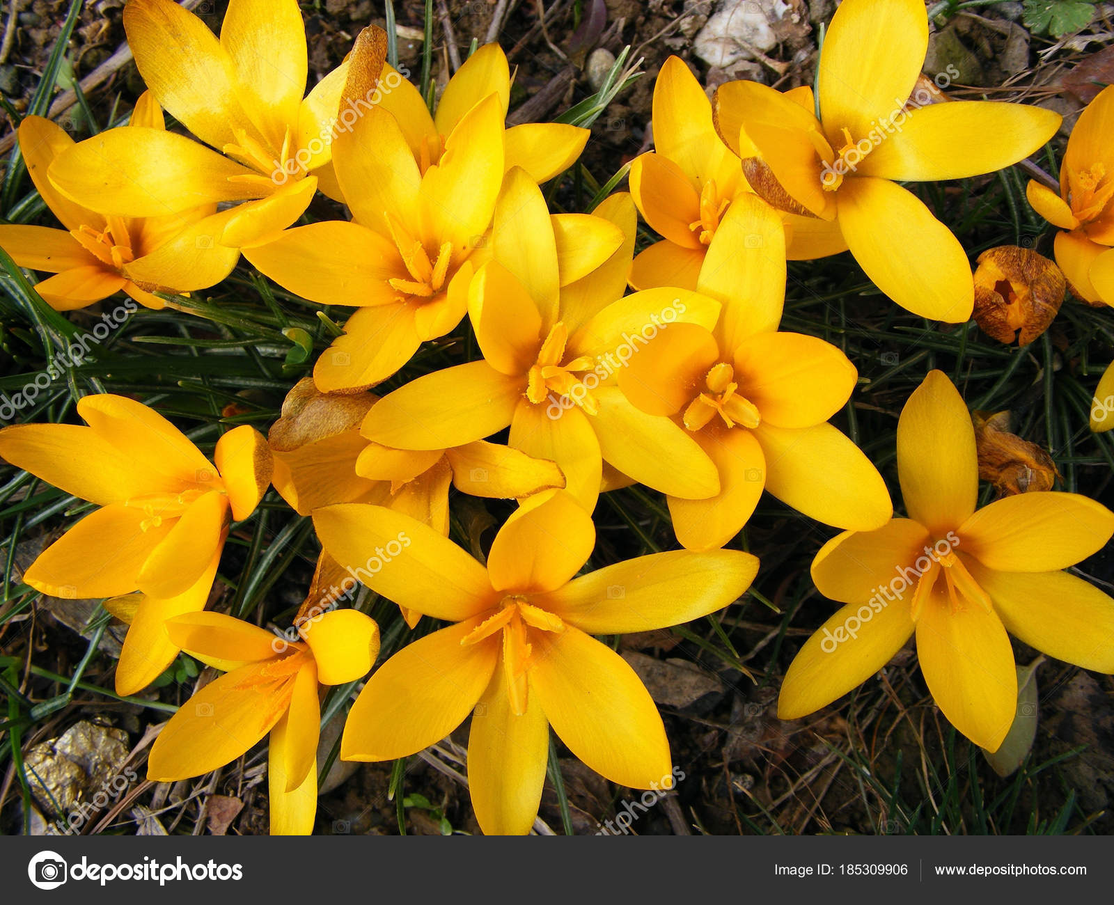 First Spring Flowers Photography Scene Flowering Spring Yellow