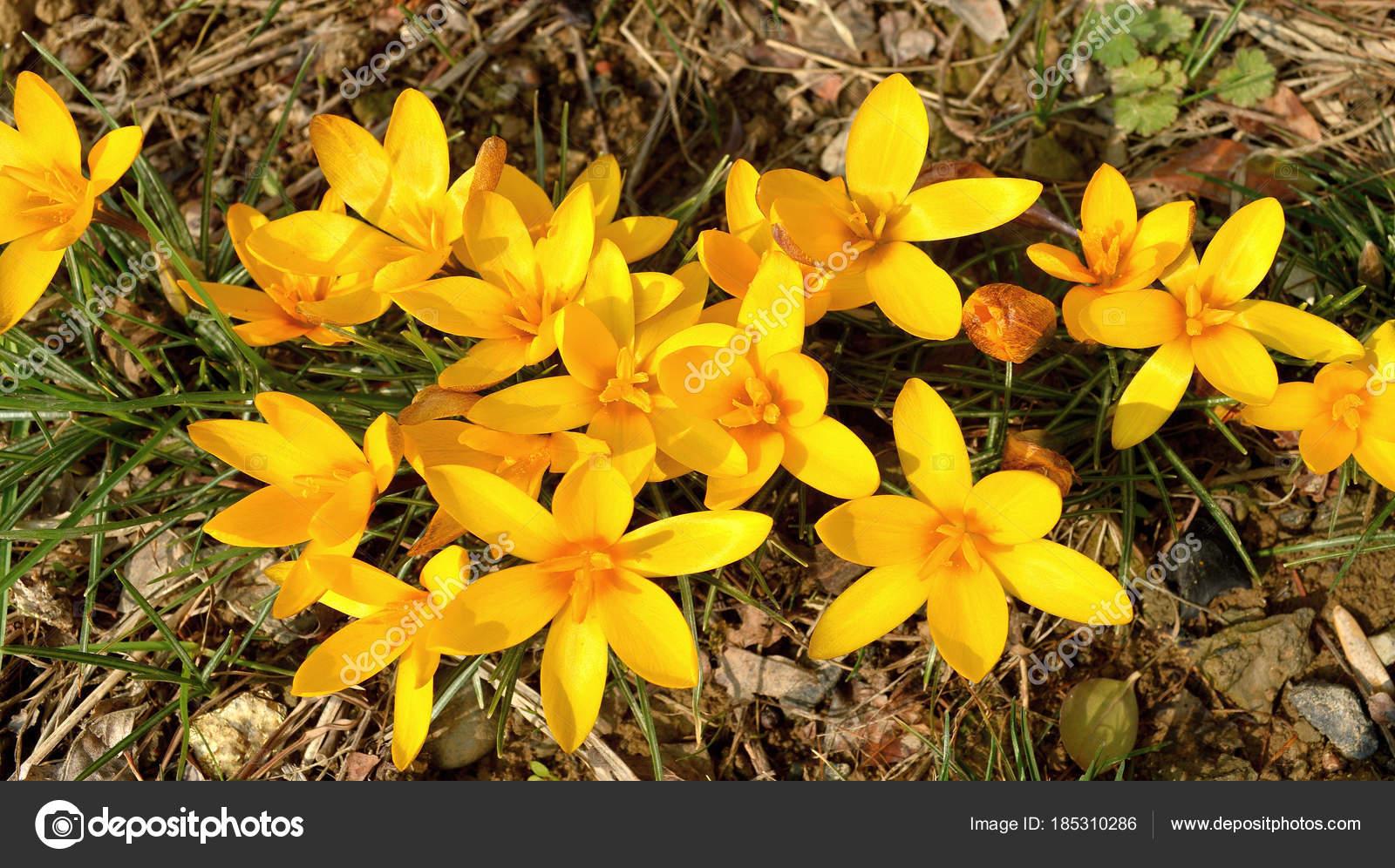 Erste Fruhlingsblumen Fotografie Mit Szene Bluhenden Fruhling Gelbe