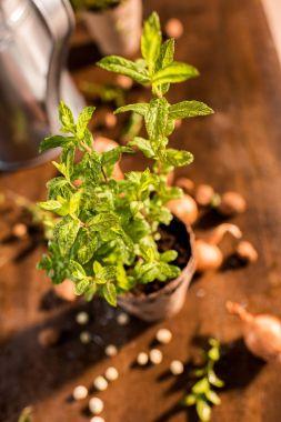 mint growing in a flowerpot