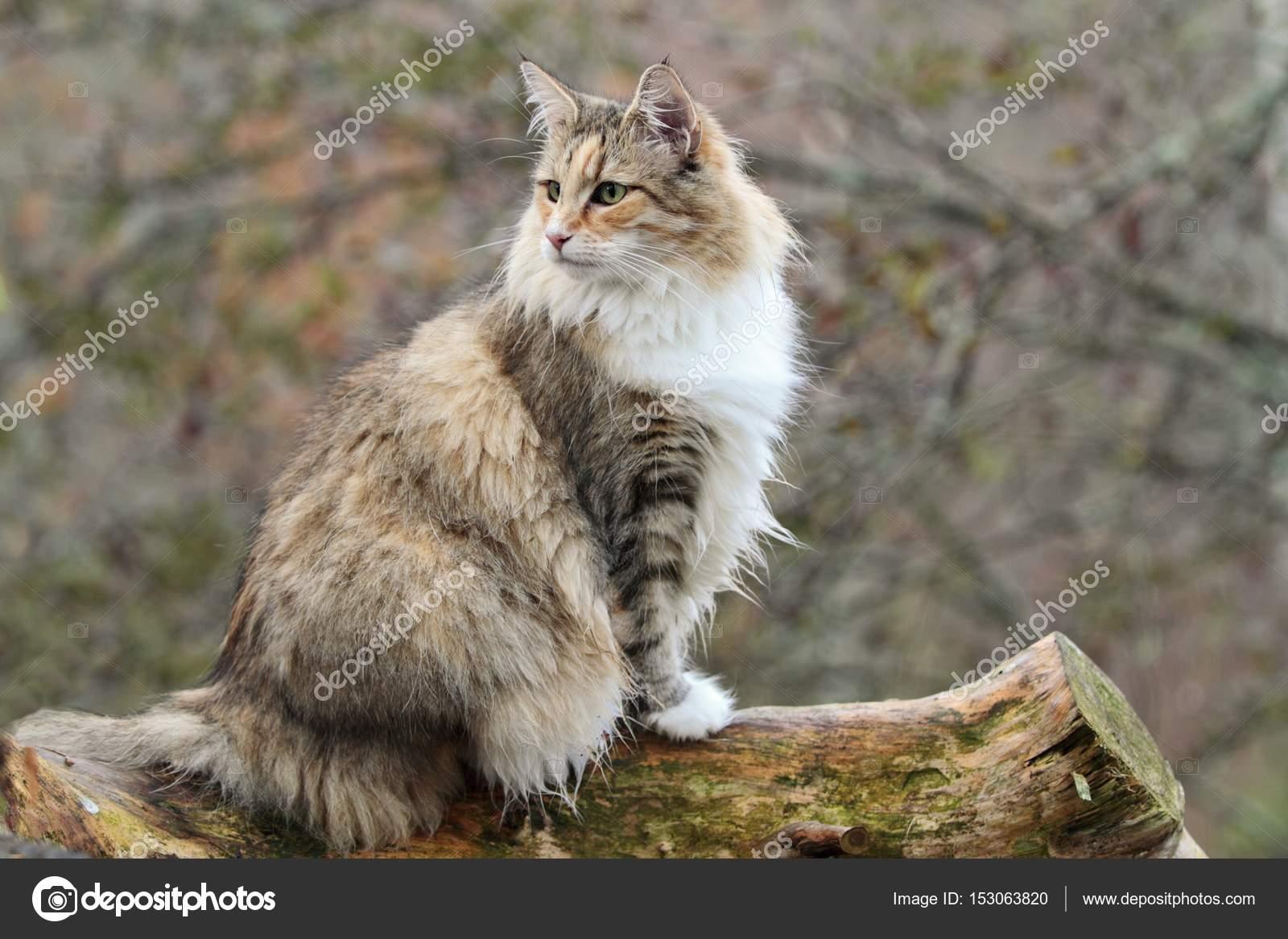 Donna gatto norvegese della foresta foto stock puteli for Gatto della foresta norvegese