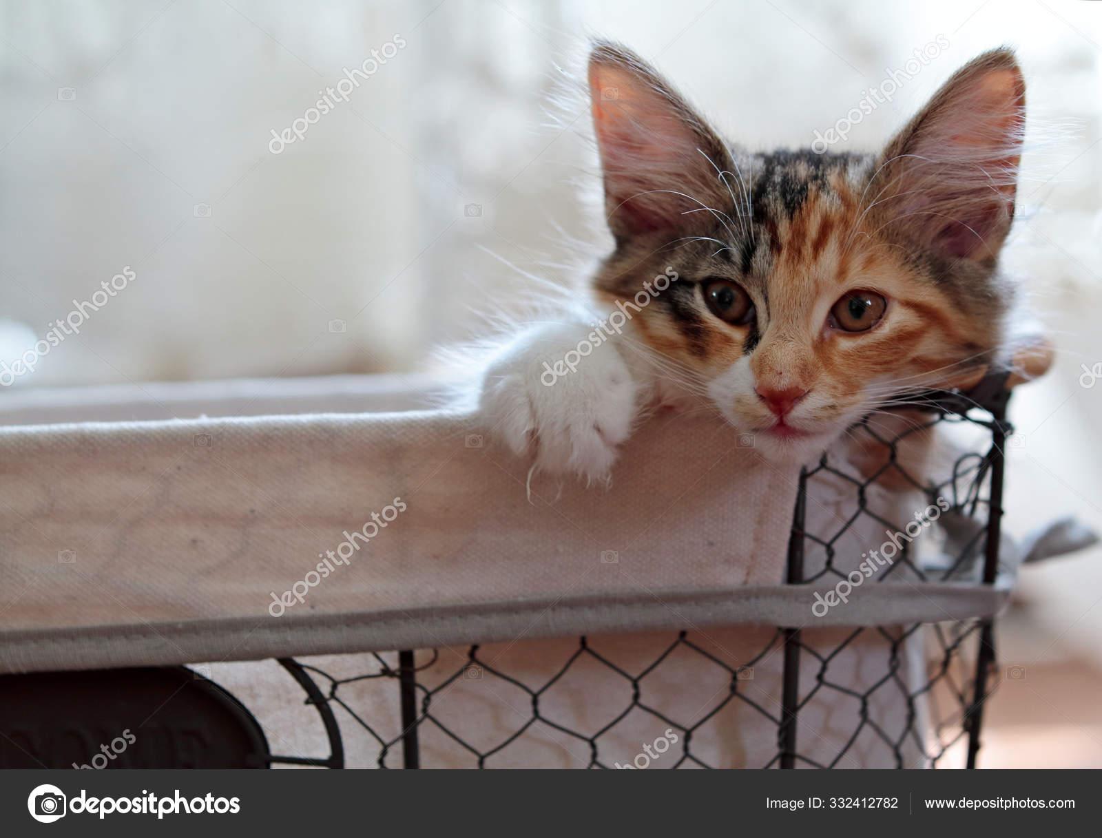 A Norwegian Forest Cat Kitten In A Basket Stock Photo C Puteli 332412782