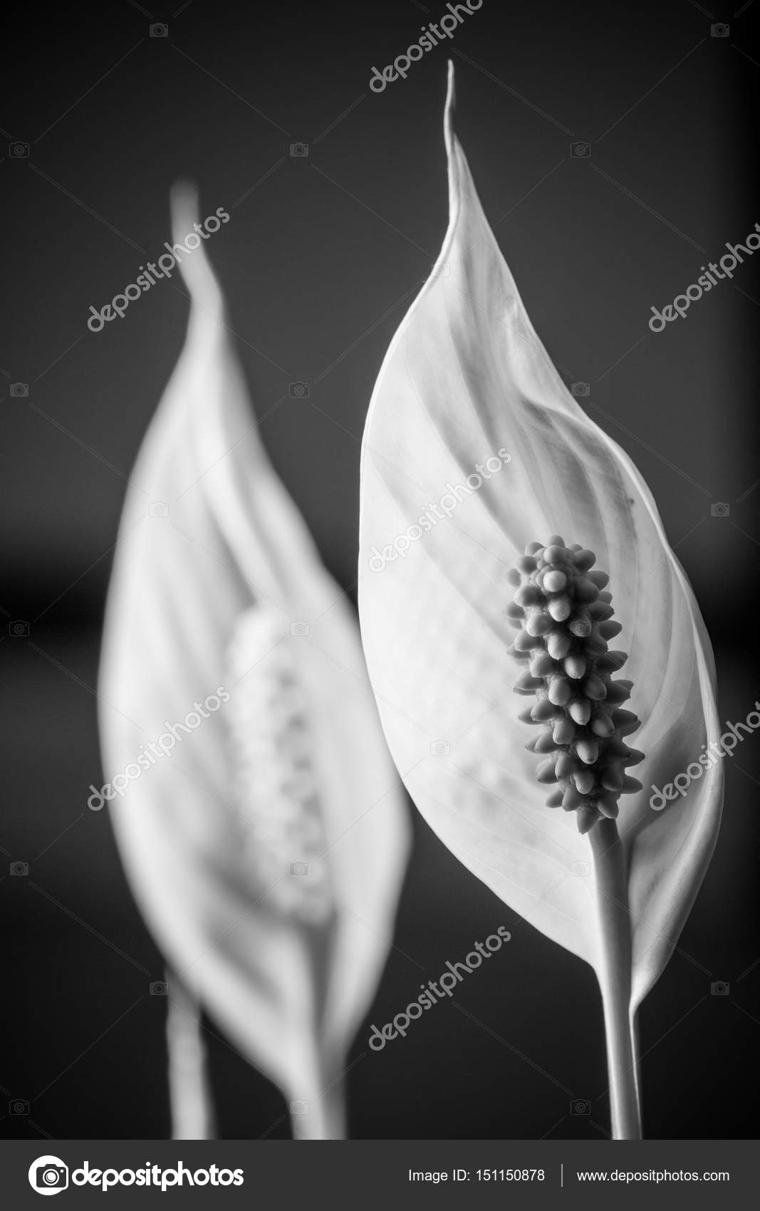 Close Up Of A White Flower Of An Indoor Plant In Black And White