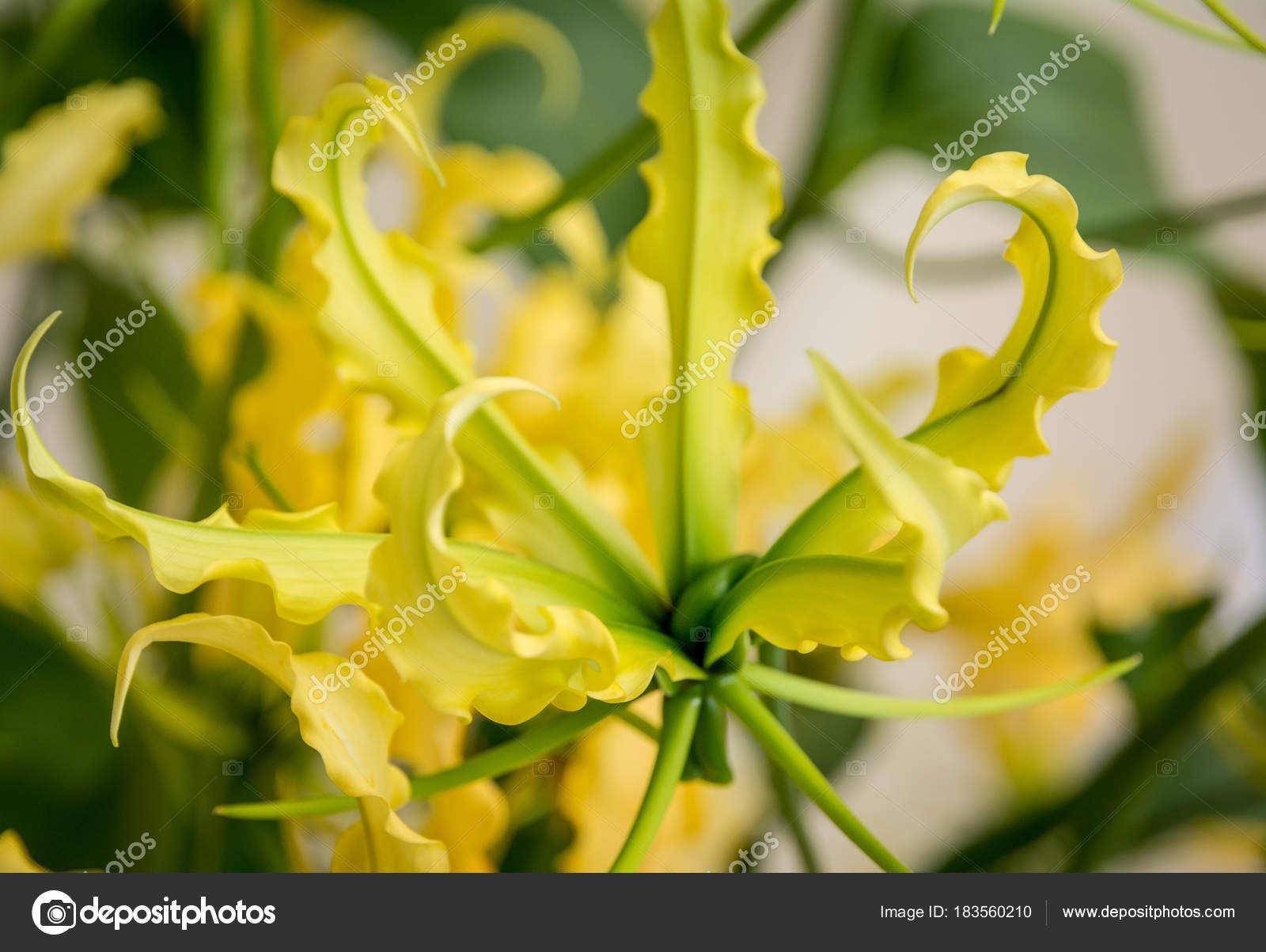 Beautiful Yellow Lilium Lankongense Easy To Grow Species From China