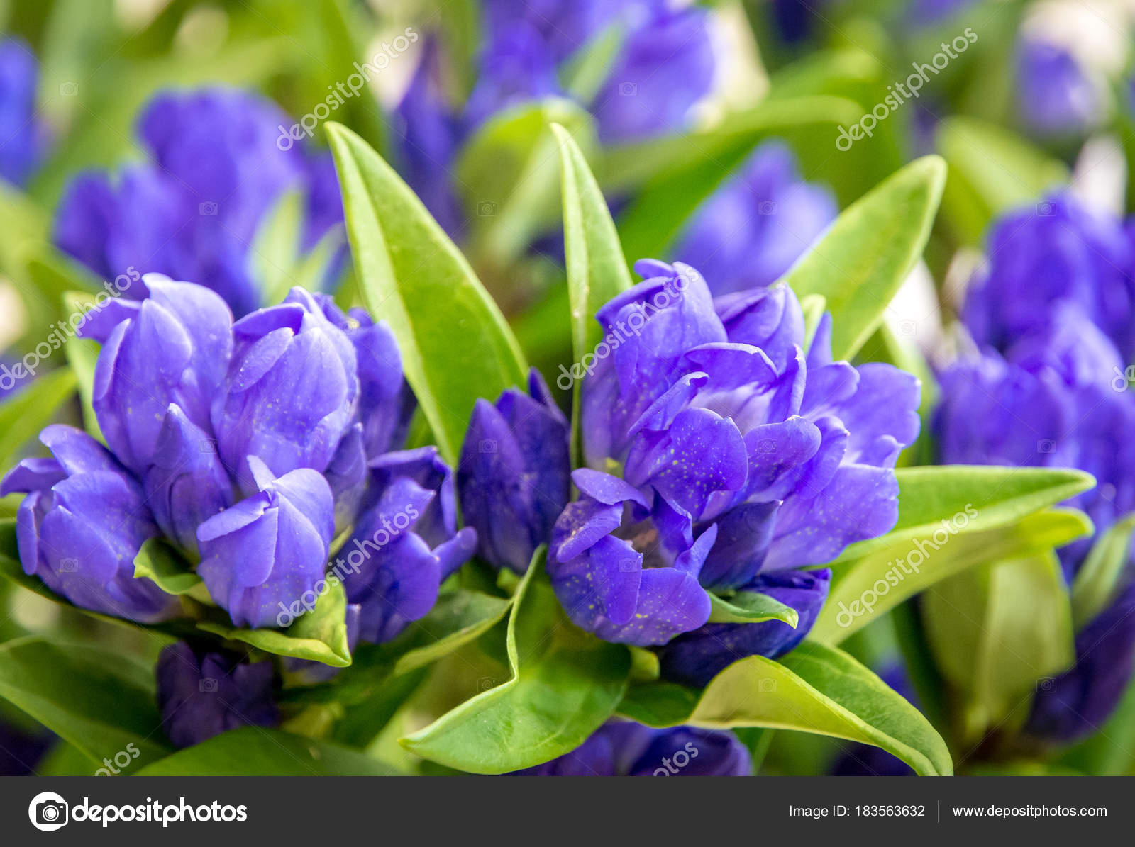 Clustered Gentian Gentiana Triflora Is A Tall Flowering Perennial