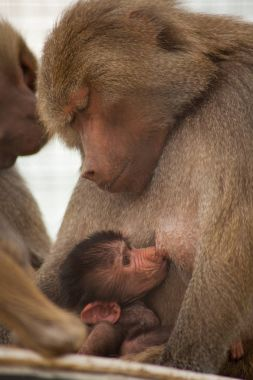 Baby monkey with his mother