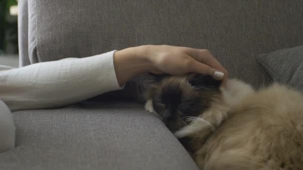 Schöne Kuschelige Katze Schläft Auf Dem Sofa Im Wohnzimmer, Eine Frau Ist  Sein Weichere Fell Streicheln.u2013 Stock Filmmaterial