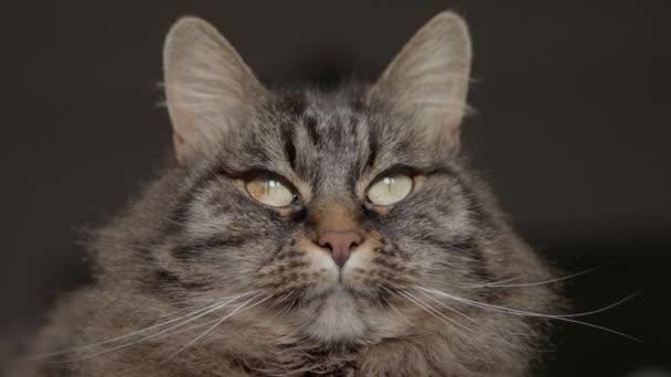 schöne lange Haare Katze posiert