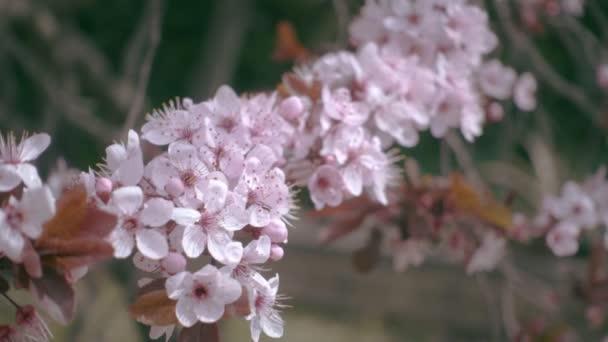 Japán cseresznye vagy a sakura pink flower lassítva