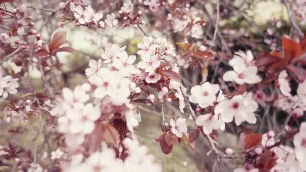 Retro vzhled z japonské třešně nebo sakura, růžový květ v pomalém pohybu