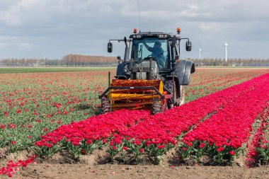 Farmer at tractor is cutting the heads of tulip flowers