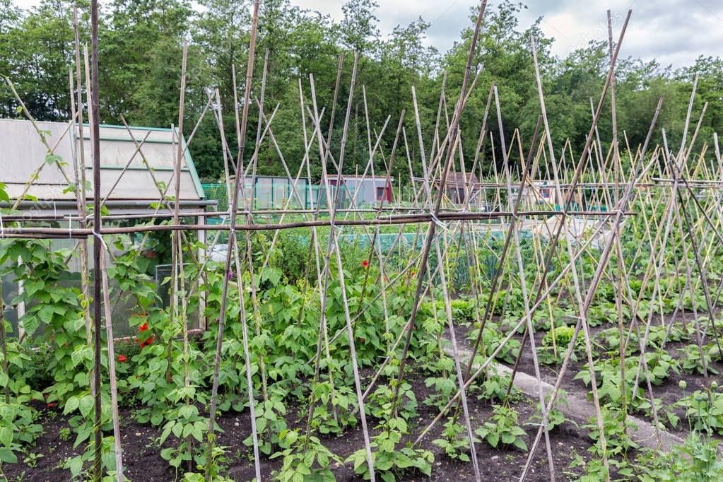 Allotment garden in spring with runner bean canes