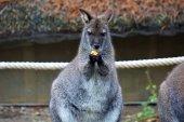 Fotografia Carina cerca di mangiare di wallaby dal collo rosso