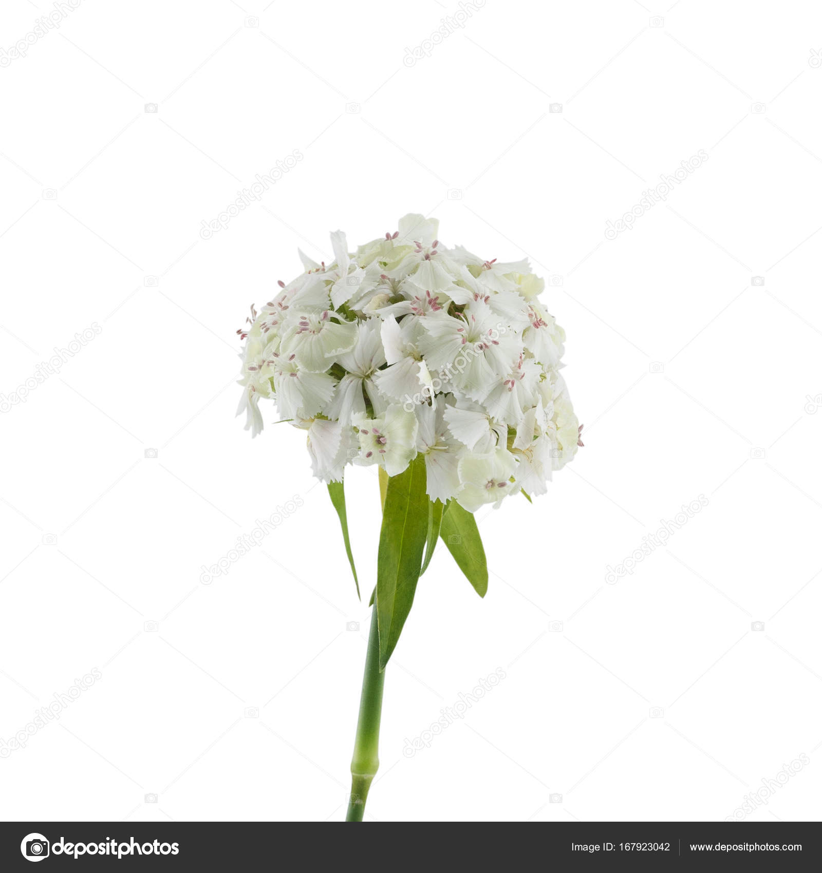 White sweet william flowers isolated on white background stock white sweet william flowers isolated on white background stock photo mightylinksfo