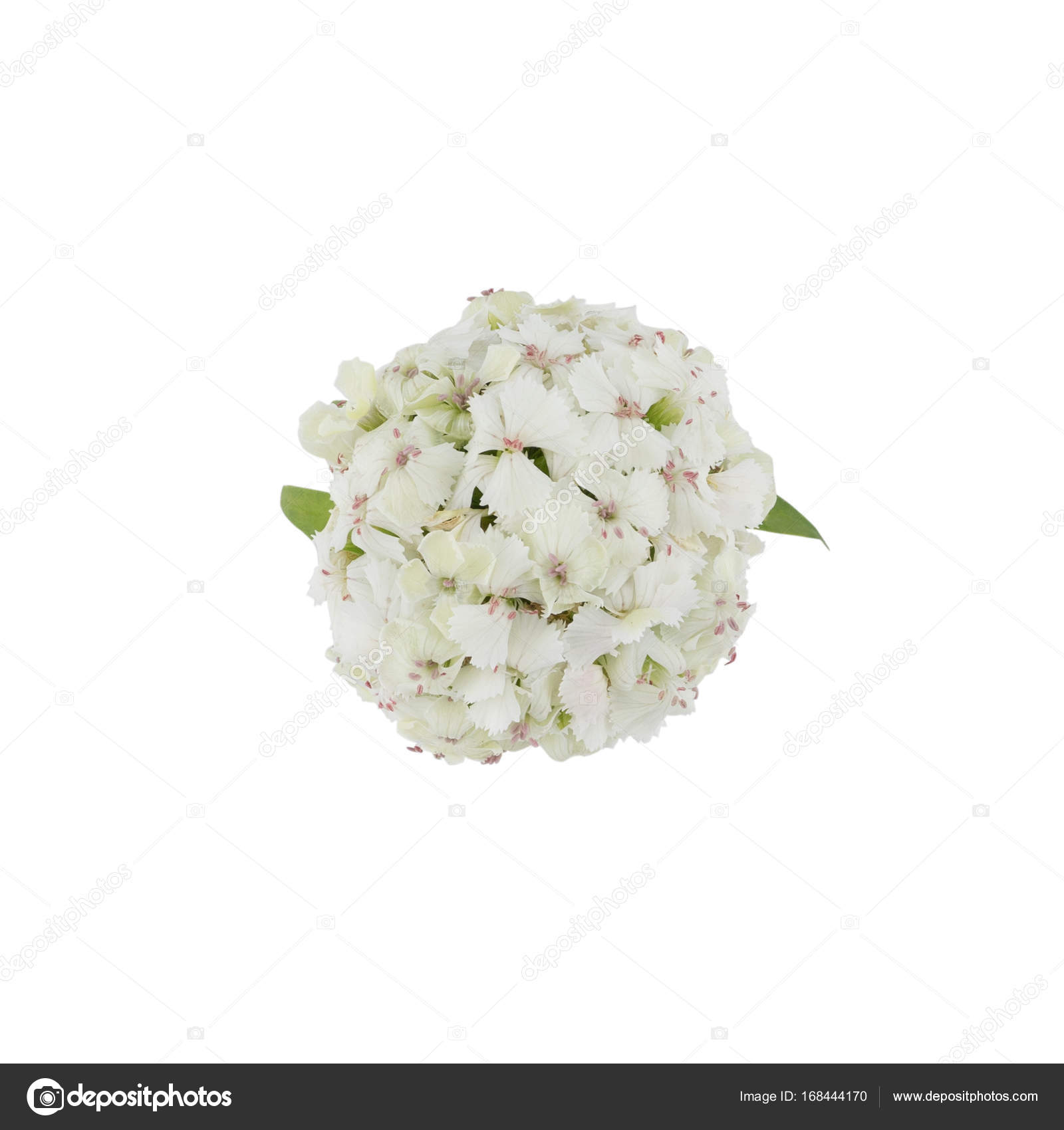 White sweet william flowers from top view stock photo nathiyai white sweet william flowers from top view stock photo mightylinksfo