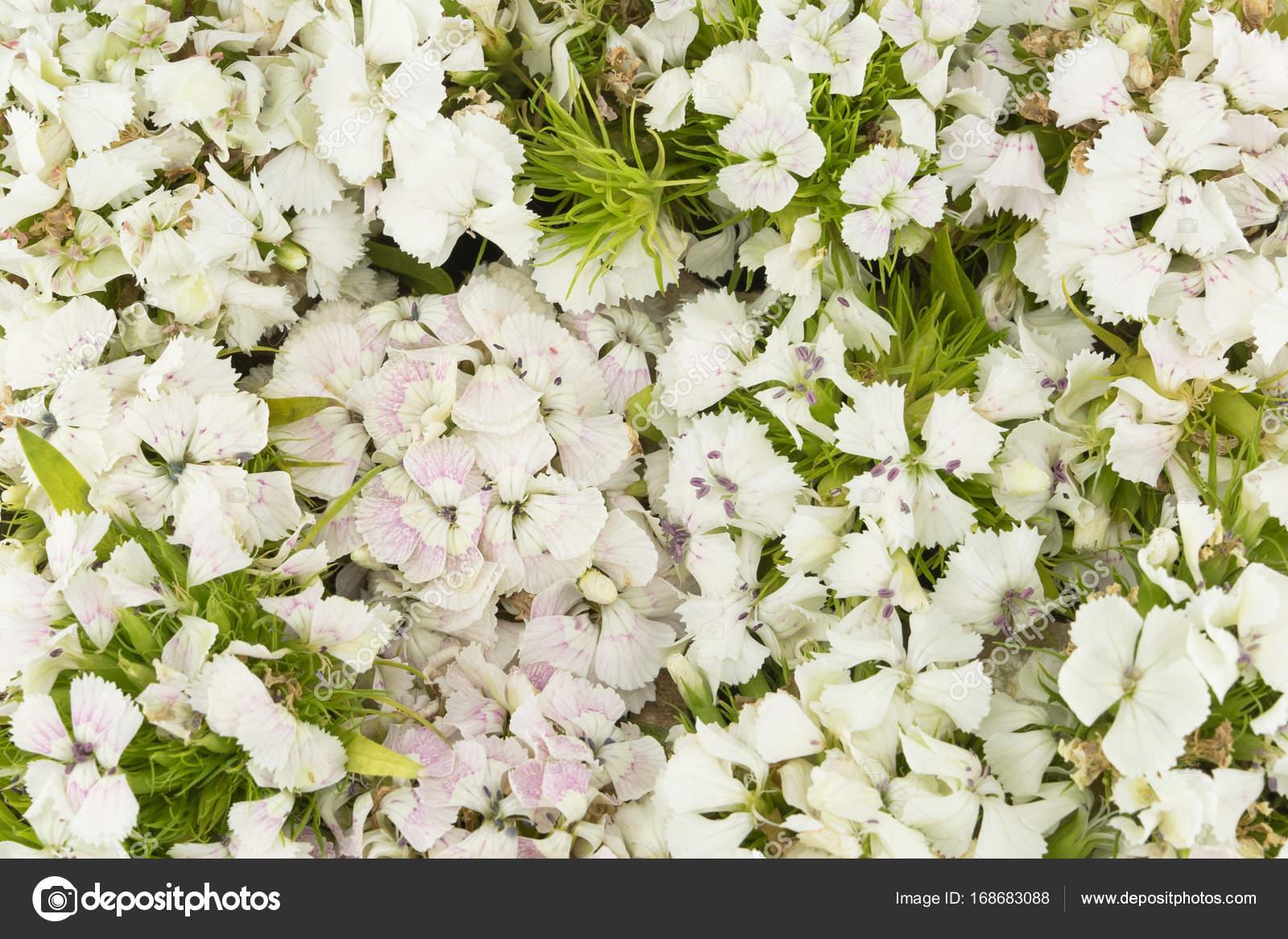 White Sweet William Flowers Background Stock Photo Nathiyai