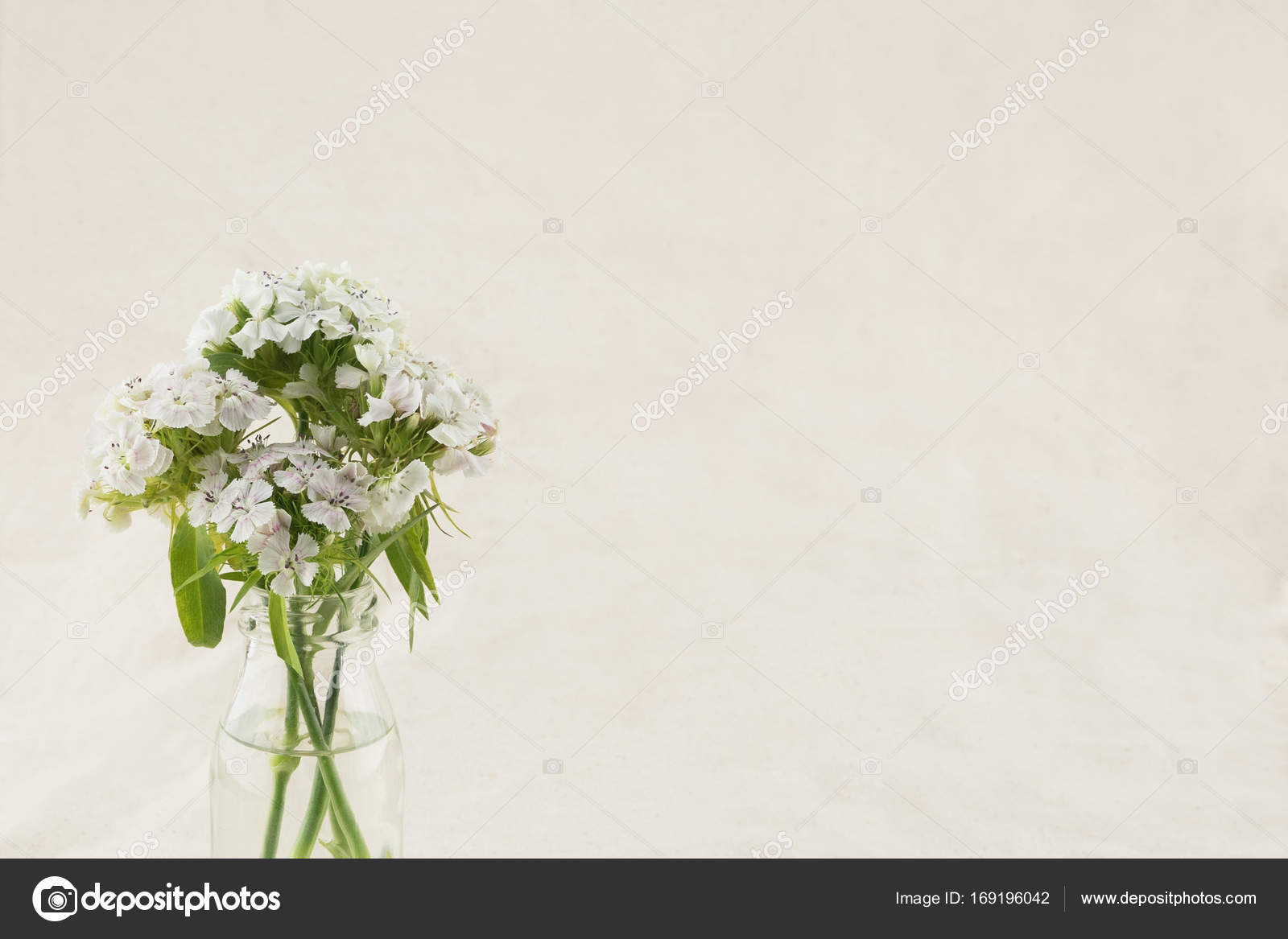 White Sweet William Flowers In Vase With Copy Space Stock Photo
