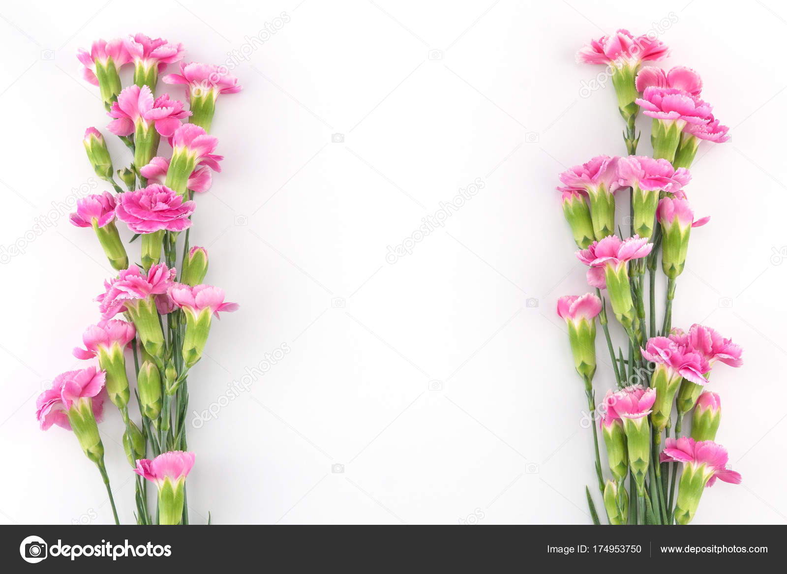 Pink Carnation Flowers White Background Copy Space Stock Photo