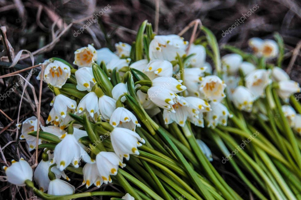 The turned-blown off primroses is among a dry grass