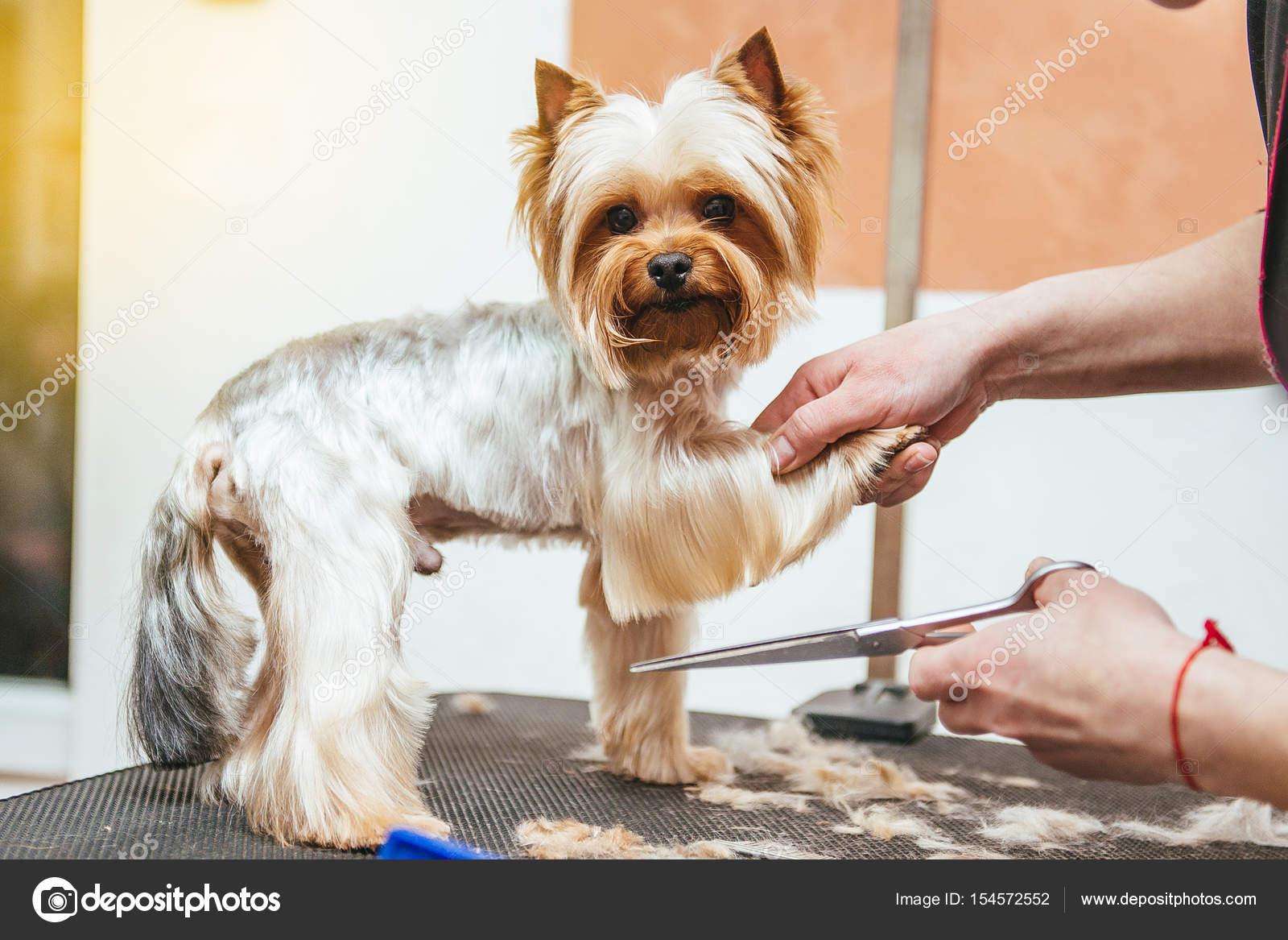 Salon De Coiffure Tond Yorkshire Terrier Fourrure Sur L Oreille Avec