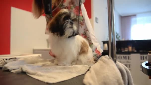 Shih Tzu Puppy Grooming In A Professional Hairdresser Haircut