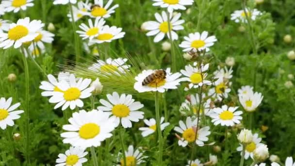 A bee collects pollen nectar from blooming daisies. Spring meadow of blooming daisies