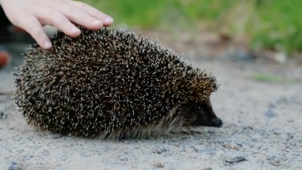 touching the hedgehog. Hands of a child touch a hedgehog sitting on the road in summer