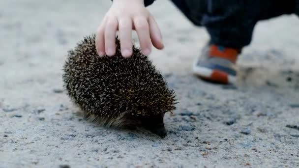 hozzáérni a sündisznóhoz. Egy gyerek keze megérint egy sündisznót, aki az úton ül nyáron.