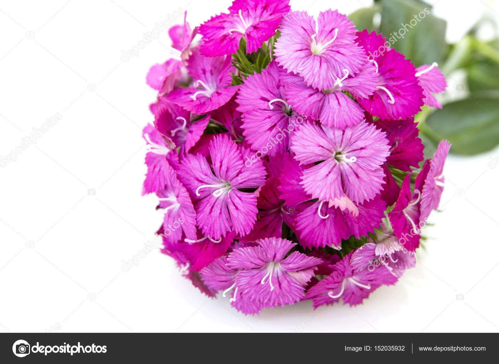Ianthus Barbatus Sweet William Pink Flowers Isolated On White
