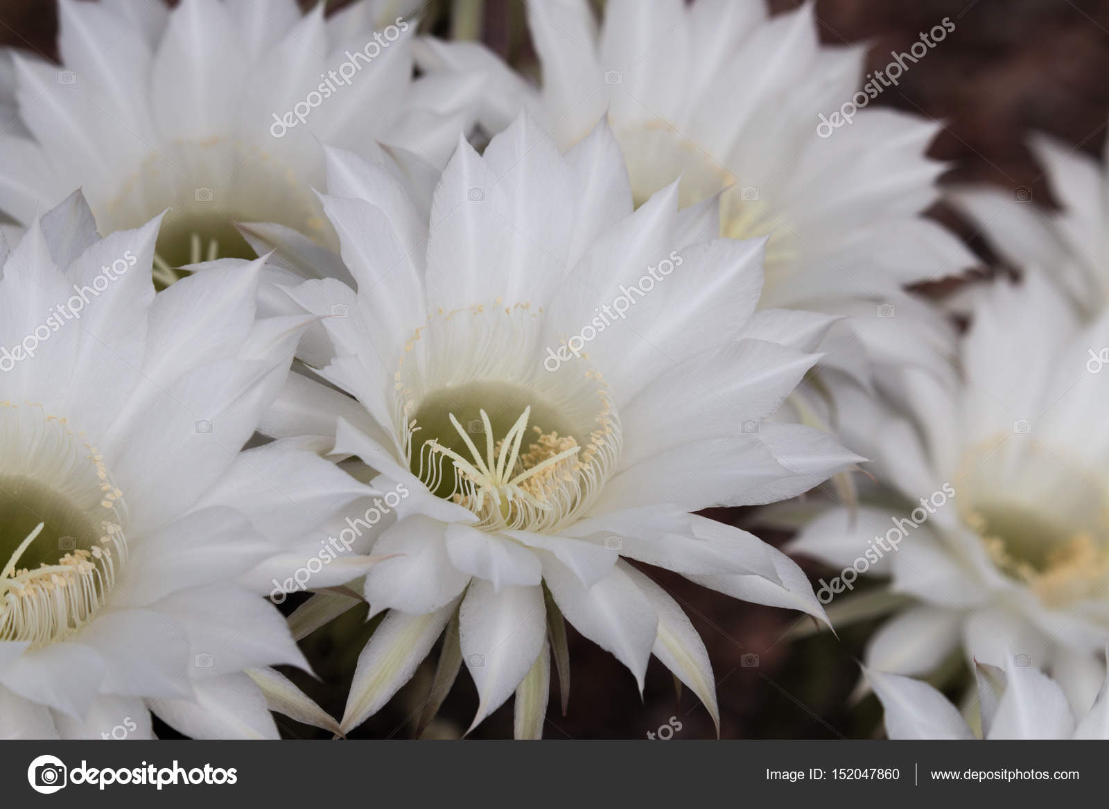White Cactus Flower Stock Photo Supitchamcadam 152047860