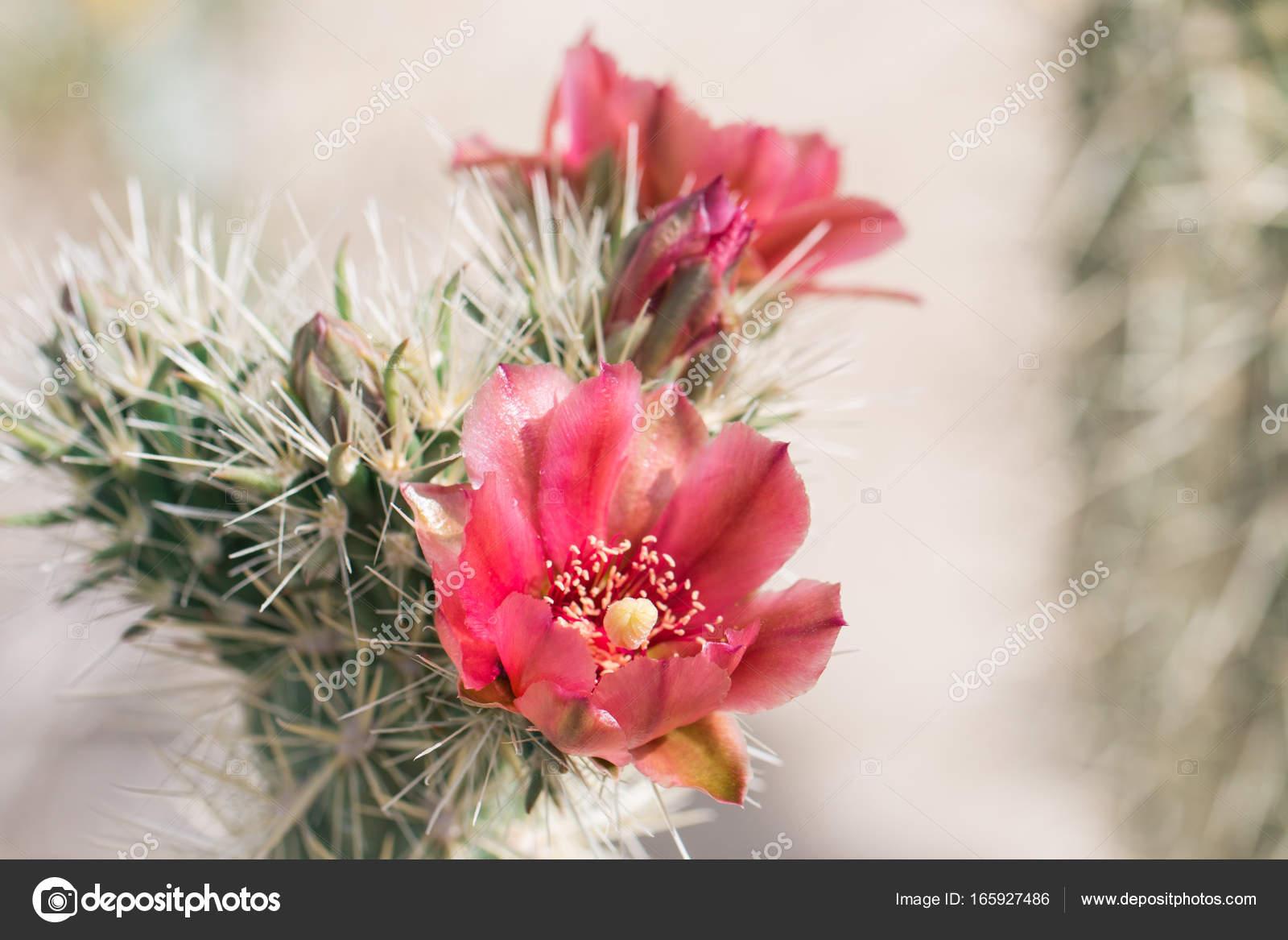 Beautiful Blooming Wild Desert Cactus Flowers Stock Photo