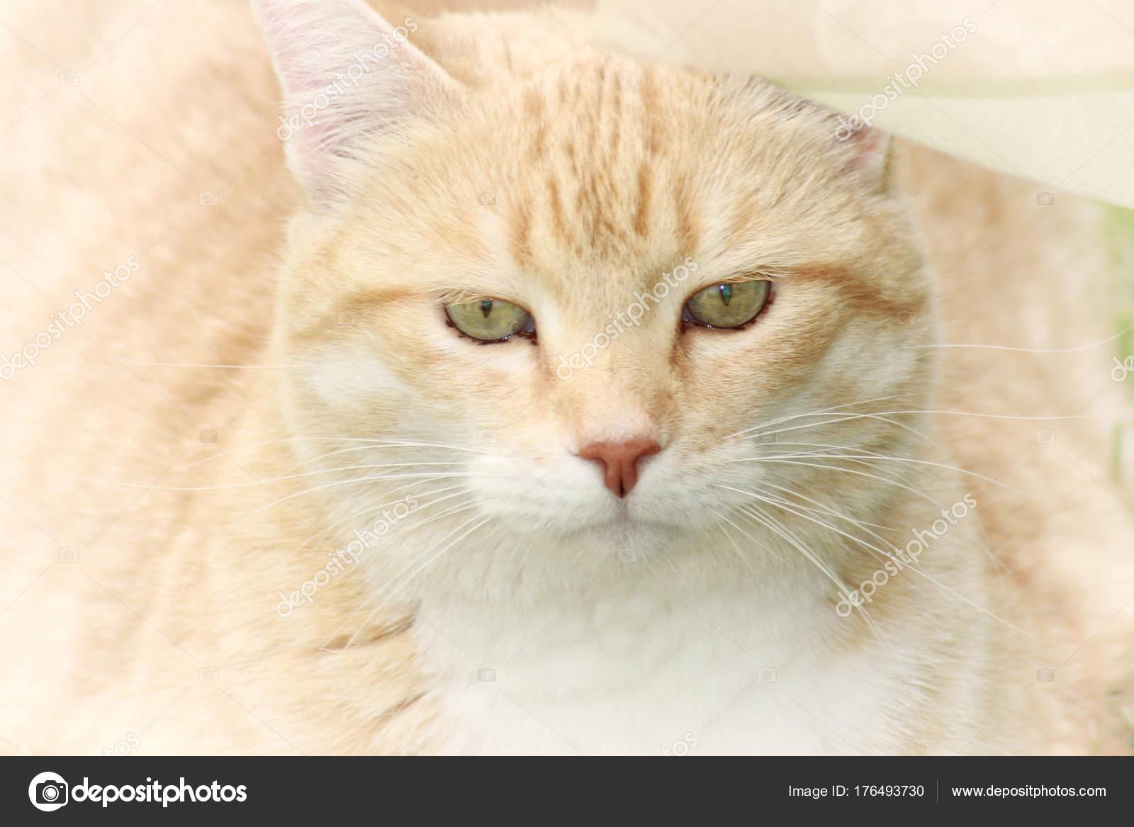 Portret Rudy Białym Pręgowany Kot Zdjęcie Stockowe Katrin88888