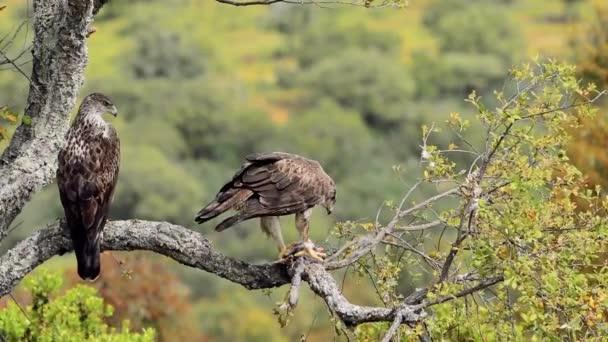 Orel muže a ženy Bonelliho jí králíka na stromě. Aquila fasciata.