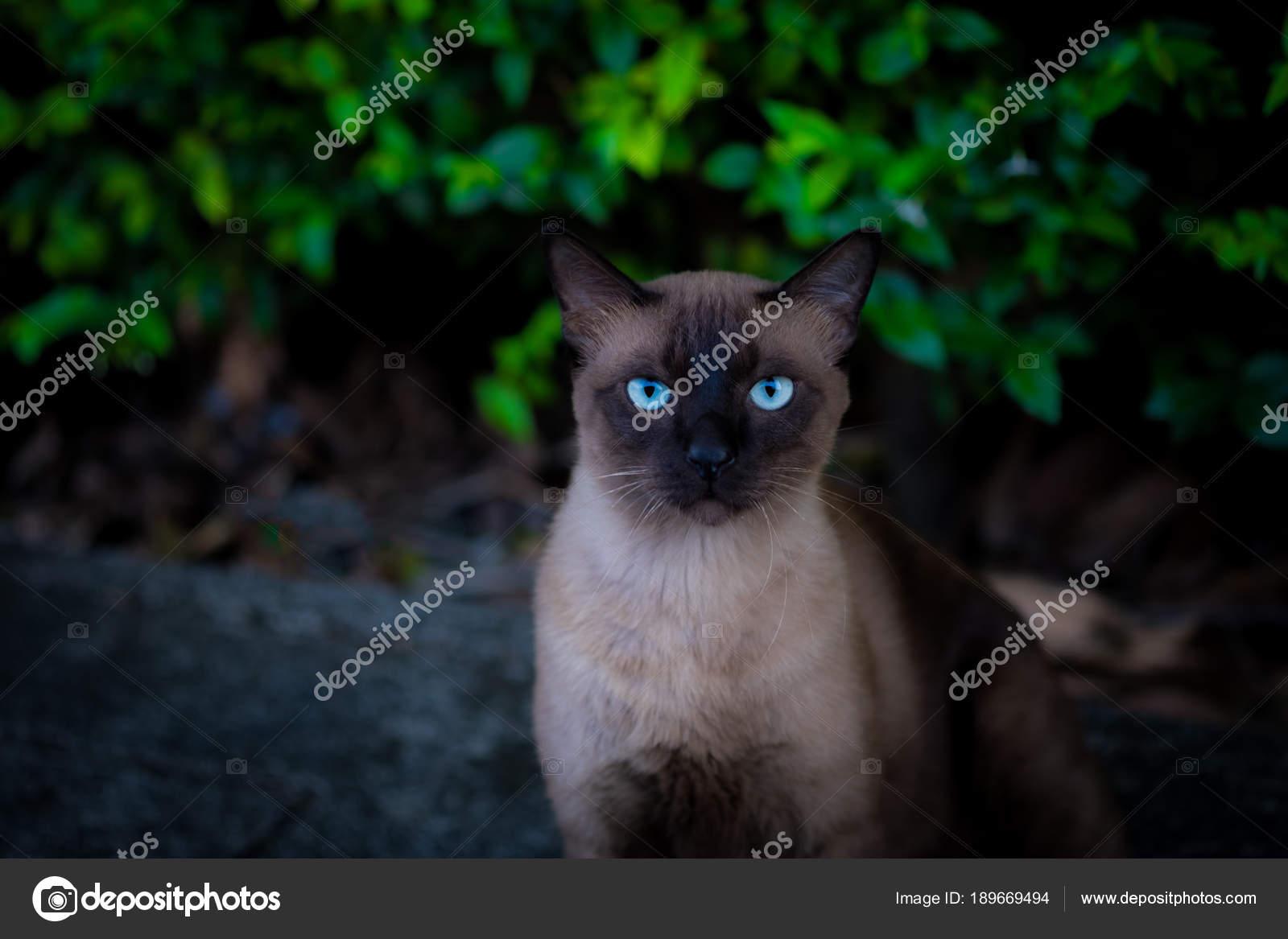 Gatto Siamese Foto Stock Quantum 189669494