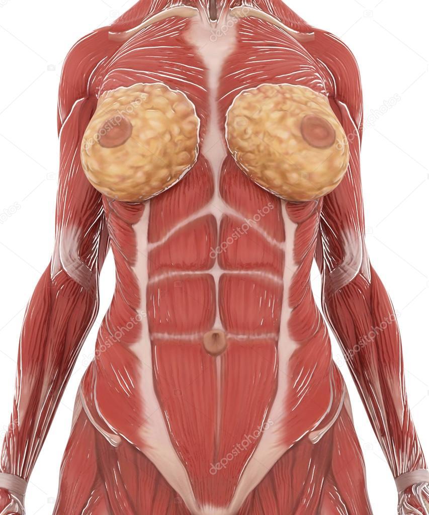 Anatomía muscular mapa en blanco aislado — Foto de stock © CLIPAREA ...