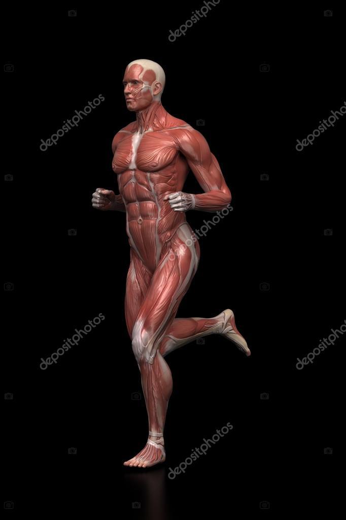 Hombre corriente - anatomía muscular — Foto de stock © CLIPAREA ...