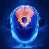 human skull occipital bone