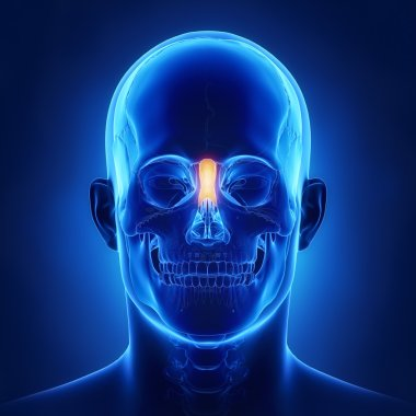 human skull Nasal bone