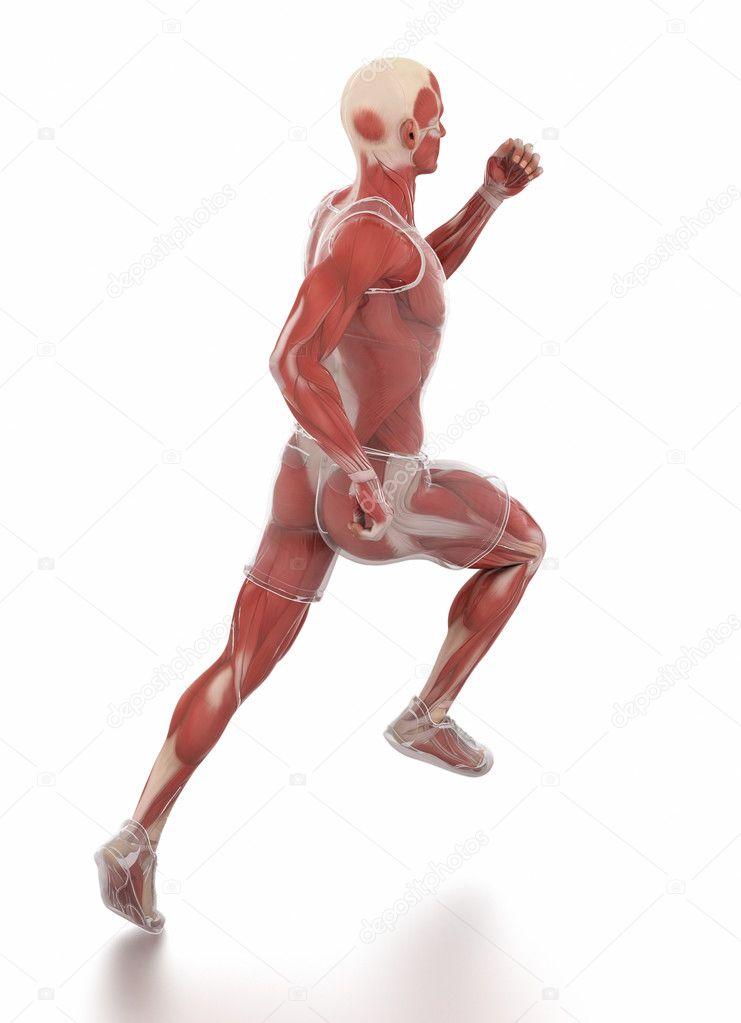 Anatomía de los músculos de hombre corriente — Fotos de Stock ...