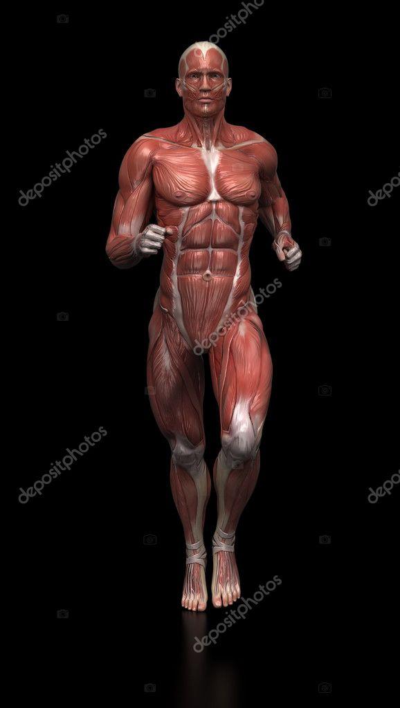 Anatomía de los músculos de hombre corriente — Foto de stock ...