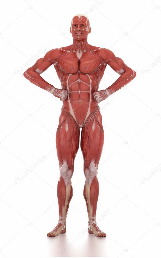 Anatomía de hombre músculo mapa — Foto de stock © CLIPAREA #125320674