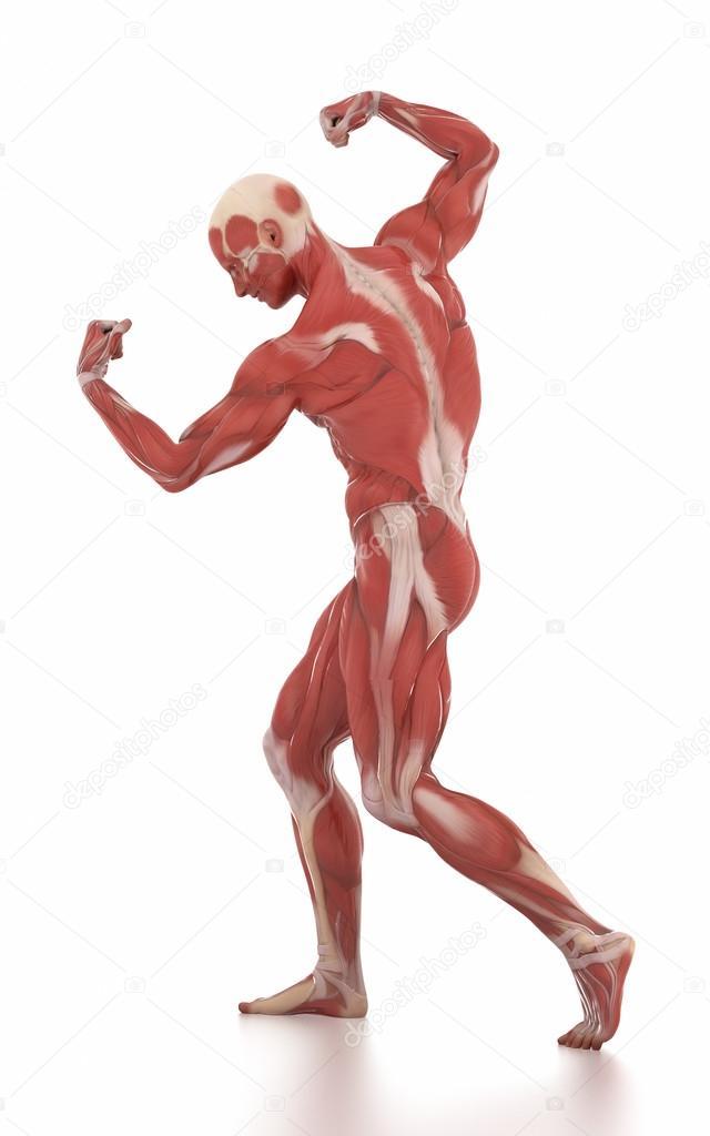 man muscle map anatomy — Stock Photo © CLIPAREA #125320768