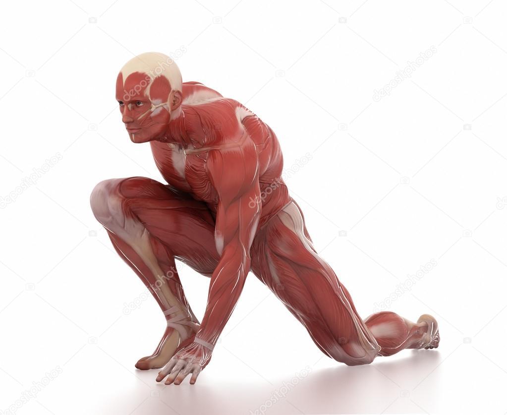mapa de anatomía de los músculos de hombre — Foto de stock ...