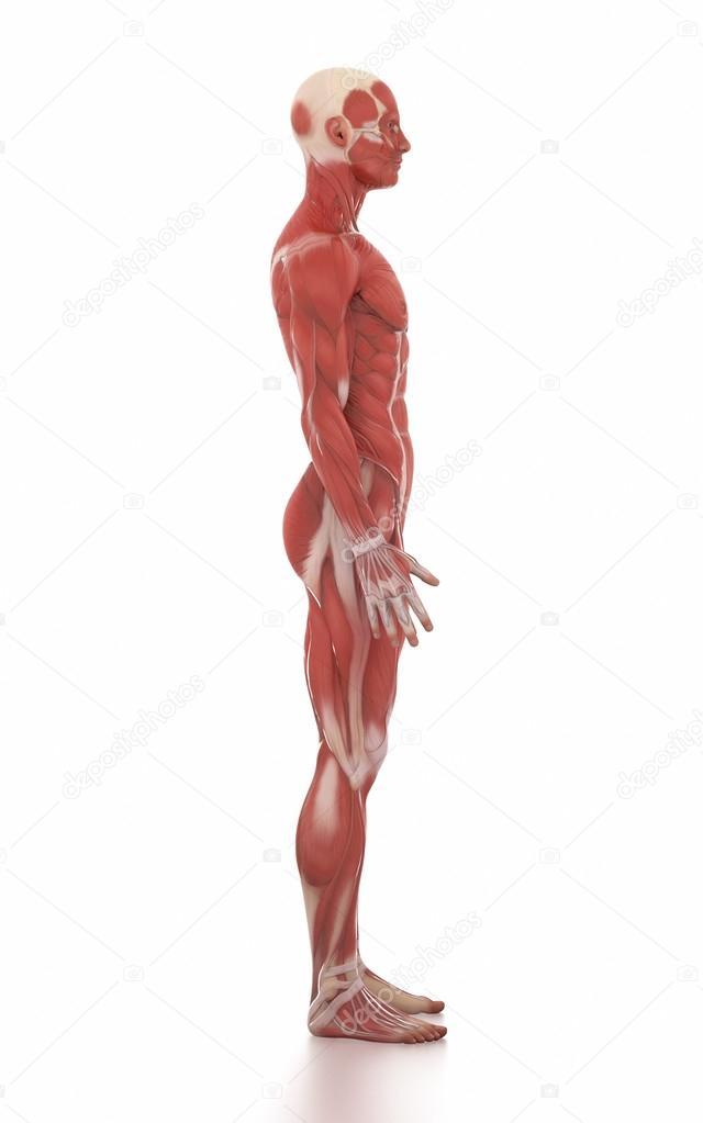 Menschen Anatomie Muskel Karte — Stockfoto © CLIPAREA #125320910