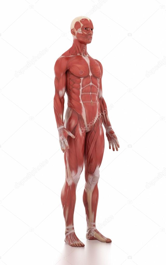 Menschen Anatomie Muskel Karte — Stockfoto © CLIPAREA #125320916