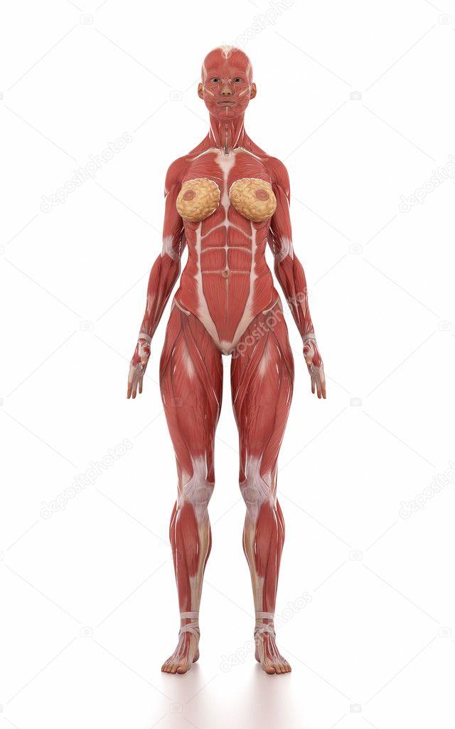 Frau Anatomie Muskel Karte — Stockfoto © CLIPAREA #125321066
