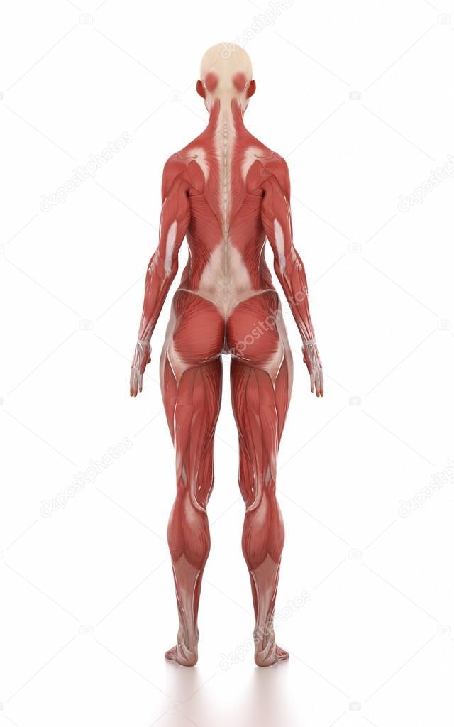 mapa de mujer anatomía muscular — Foto de stock © CLIPAREA #125321088