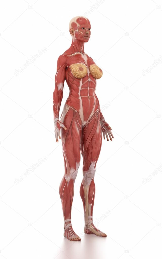Woman Anatomy Muscle Map Stock Photo Cliparea 125321090