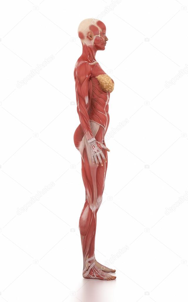 mapa de mujer anatomía muscular — Fotos de Stock © CLIPAREA #125321138