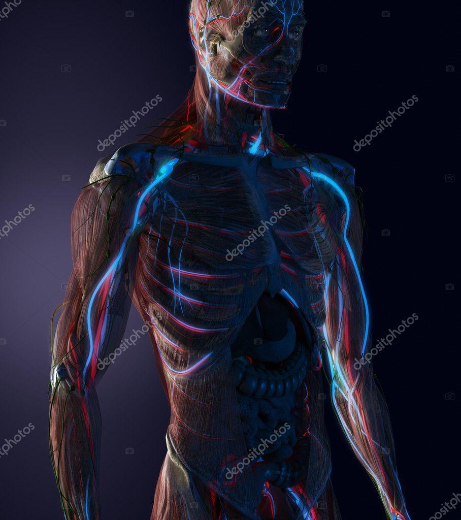 human cardiovascular system anatomy — Stock Photo © CLIPAREA #125321352